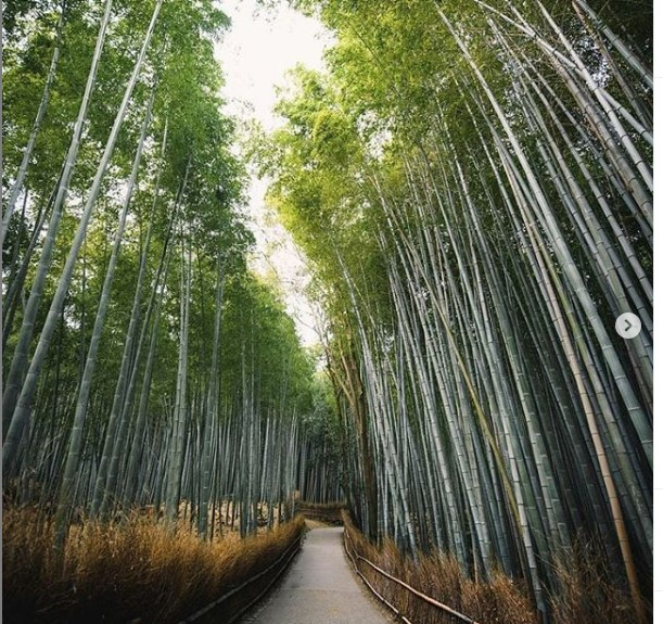 Rừng tre Sagano - Lịch trình du lịch Nhật Bản tự túc 7 ngày